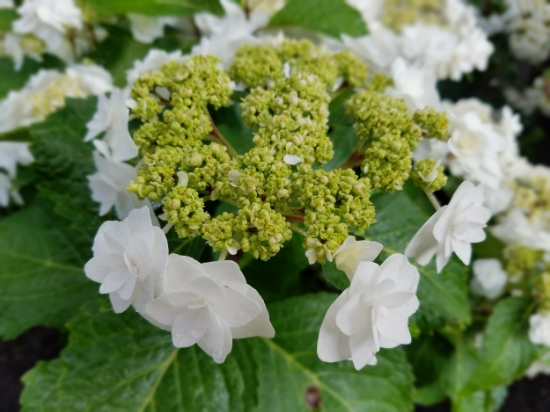 'Wedding Gown' hydrangea is a double lacecap that stuns in the garden, and stays white regardless of the soil. Maturing at 3-4'x 3-5' wide, it prefers partial shade and rarely needs pruning.