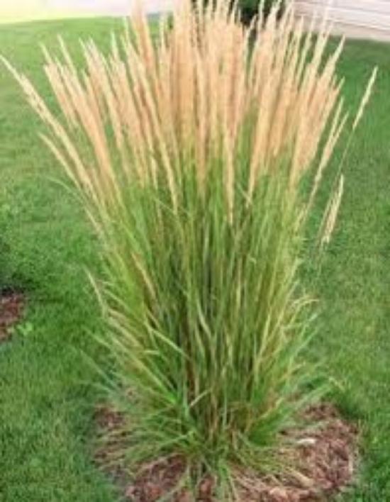 Calamagrostis x acutiflora 'Karl Foerster'