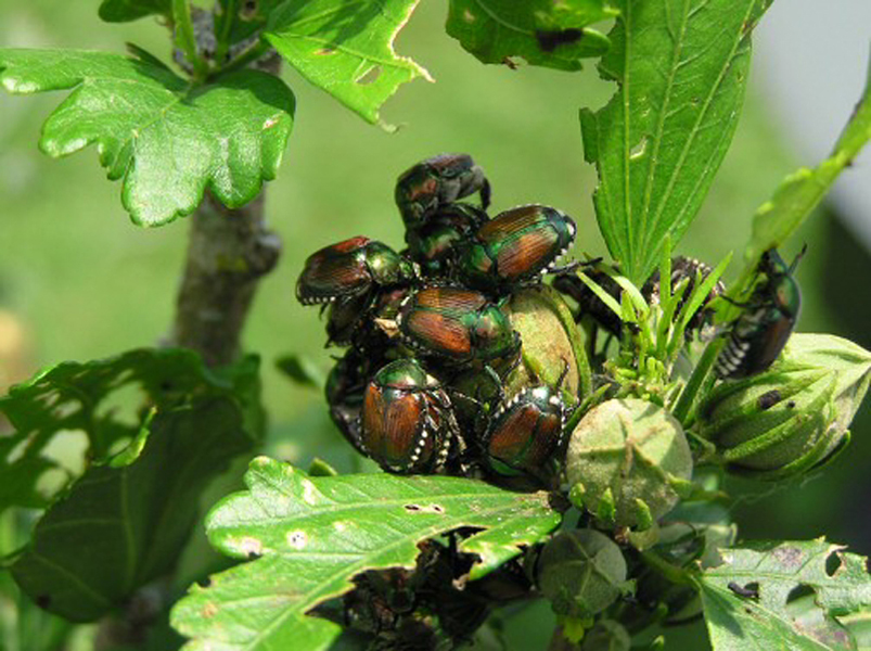 Handpicking Japanese beetles isn't the garden chore we all love to do, but it is effective.