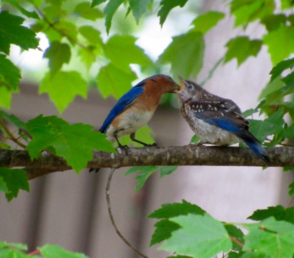 Bluebird dinner.
