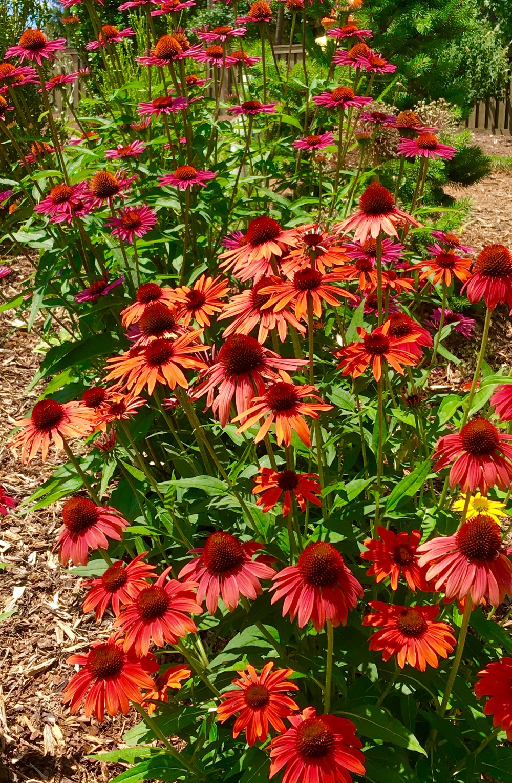 'Cheyenne Spirit' coneflowers in the blue bird garden.