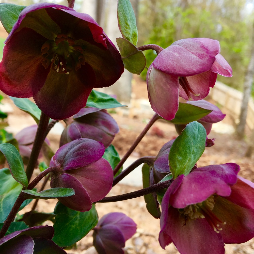 Hellebore blooms in late February to early March. It is an evergreen plant that does best in dry shade.