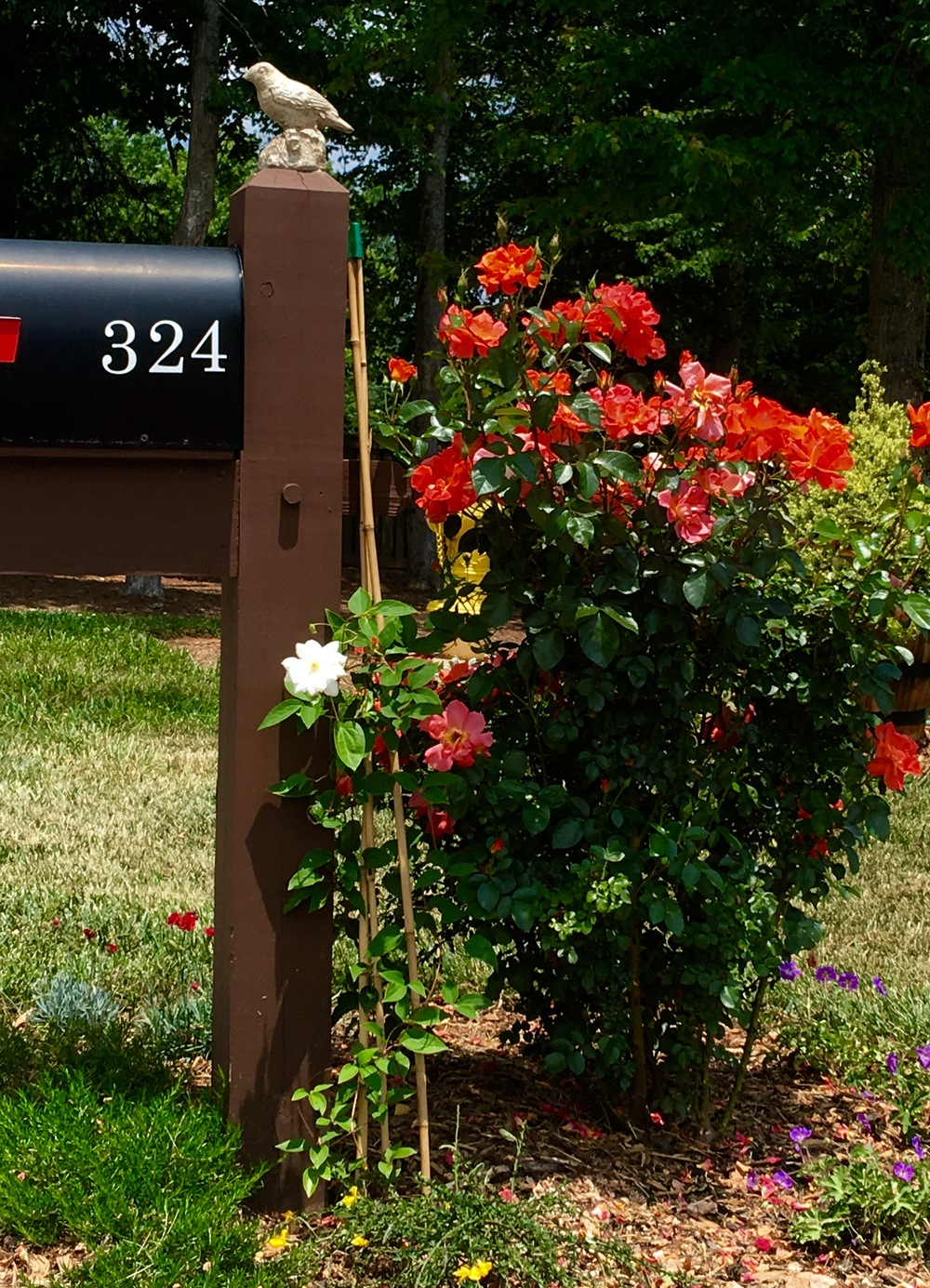Rose bush next to mailbox.