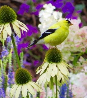 'Pow Wow' coneflower, a perfect perch for a gold finch.
