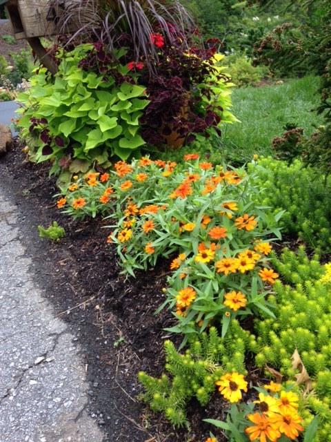"Small annual zinnia (stays 6-12"" tall) mixed with 'Angelina' sedum near mailbox."