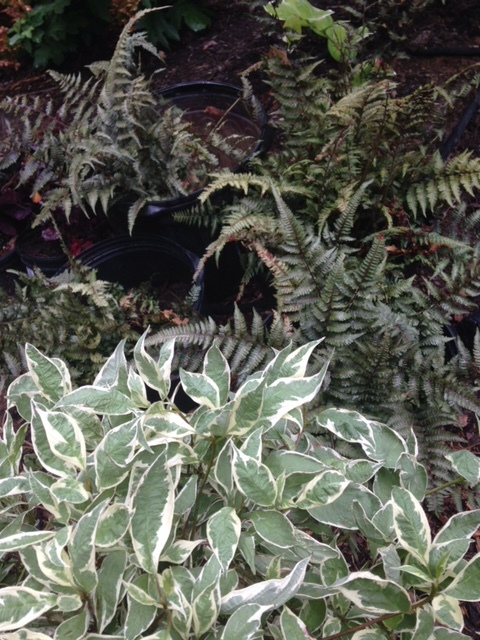 Variegated red twig dogwood (for all year and winter color) and Japanese painted fern.