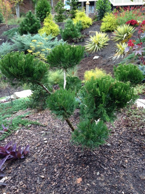 Pom pom juniper sits near the front door and looks out over the rest of the garden. Easy to prune to keep its shape.
