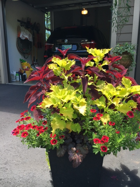 Colorful container of coleus, easy to design and inexpensive for all summer color.