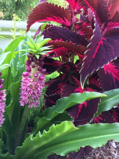 Pineapple Lily and coleus.