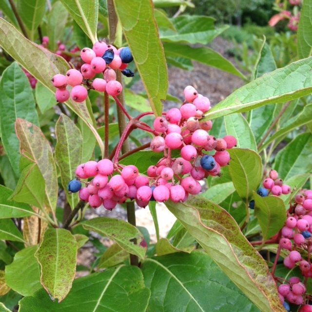 Viburnum 'Brandywine' and 'Winterthur' planted together for better blooming and fruiting.