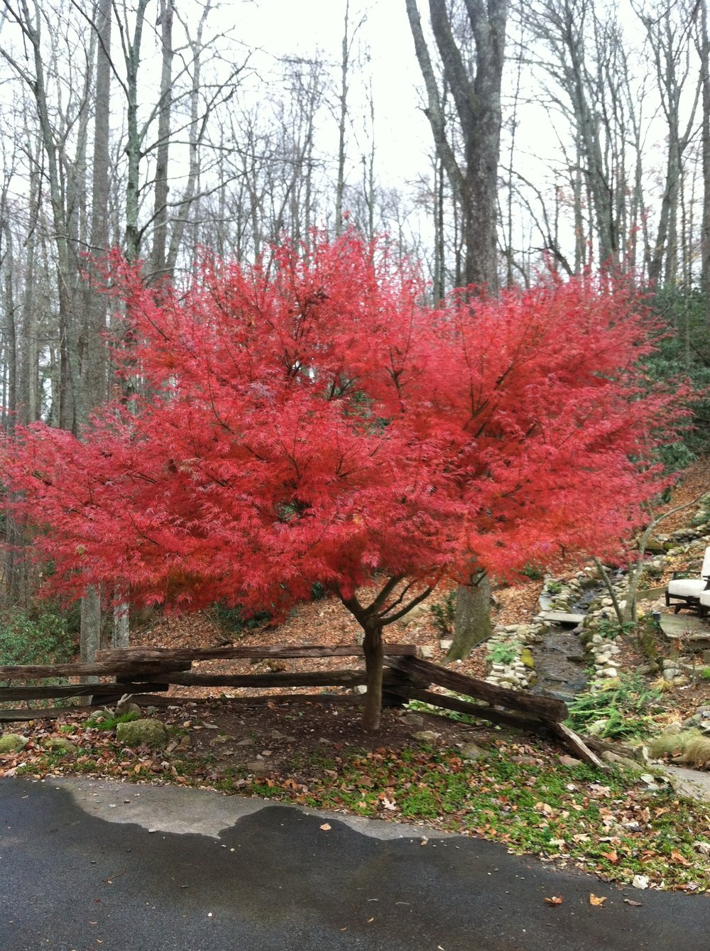 Seiryu maple in fall. Consider adding fall color to your garden now. (Picture courtesy of Chris Stone.)