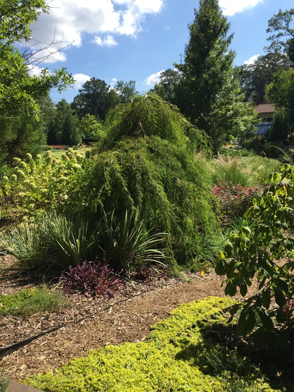 "Weeping ""anything"" is popular. This is a bald cypress."