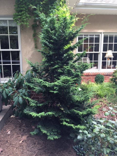 "Chamaecyparis obtusa 'Aurea' hides the hot tub while anchoring the corner of the house near the parterre garden. 15' x 12' is the perfect size for a small landscape, and it only grows 6-12"" a year. Lovely."