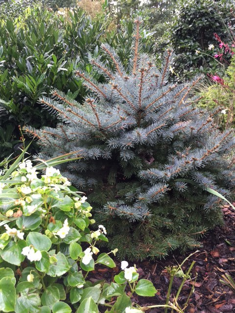 "Picea pungens 'Montgomery' is a true dwarf of the Colorado Blue Spruce. 8' x 6' it only grows 3-6"" a year so perfect for small spaces."