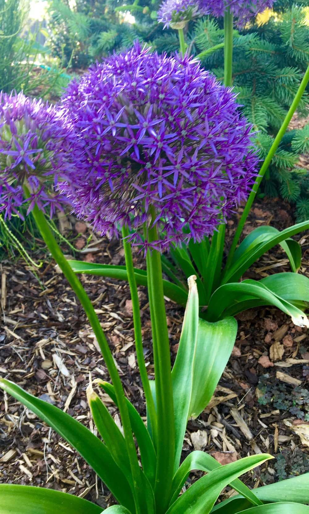 Allium is a great bulb because of its showy bloom, It's easy to see from far away, and great in pots.