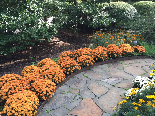 Seasonal mums are fun. People often say they don't want to spend money on annuals, but when you think of all the things you spend money on that don't bring this much joy, it's easy to justify. Celebrate fall with mums!