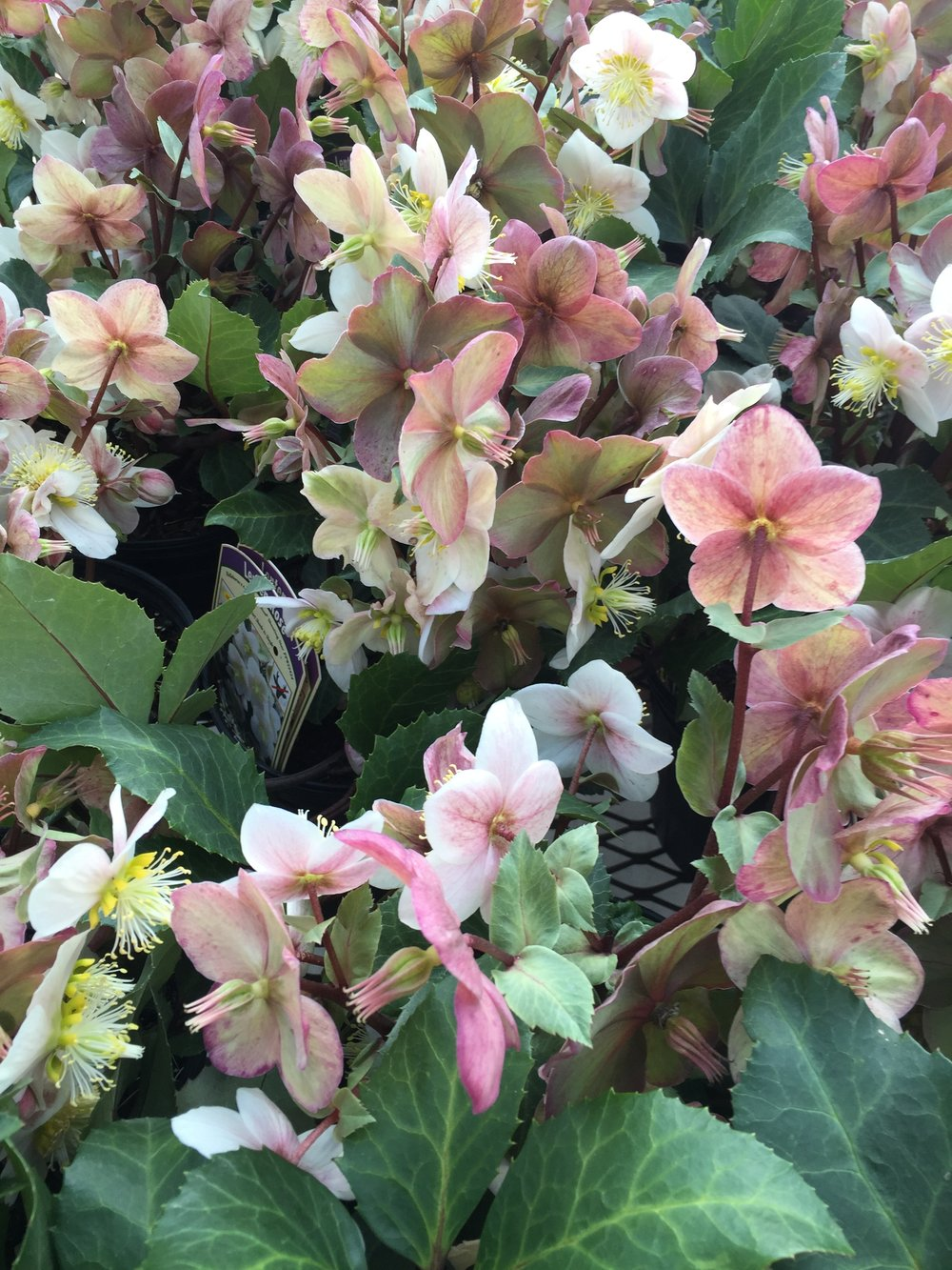 Hellebores are arriving at the store now. They're perfect for winter containers and the landscape. They love dry shade and start blooming late February to March. Don't forget to add this evergreen perennial to your garden.