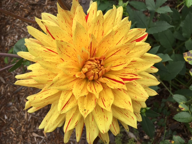 The question is do you dig dahlias up each year and store them through winter? Yes, and one good reason is it gives you a chance to divide them.