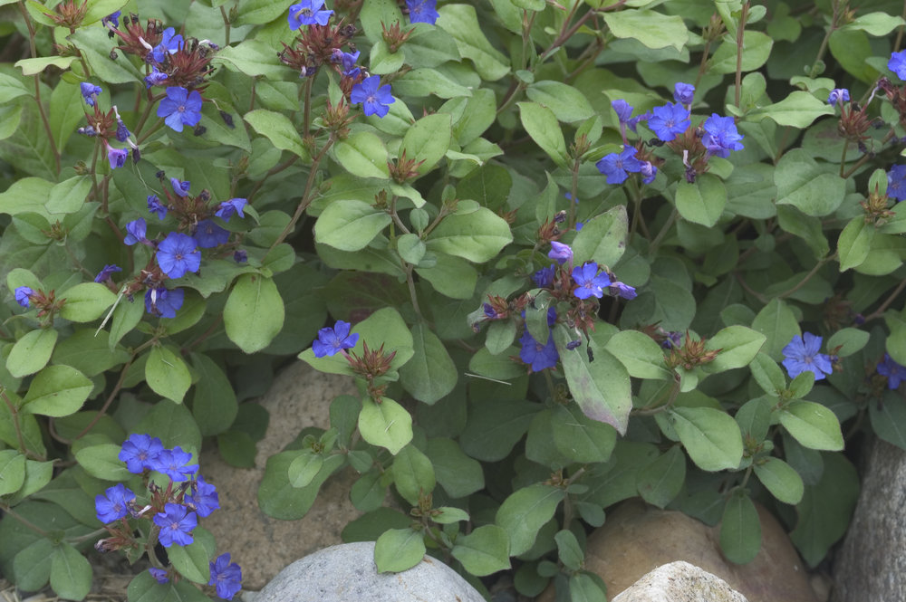 Plumbago starts in July with these beautiful blue blooms and continues to bloom until frost. Its leaves turn a brilliant copper red in fall enhancing the blue bloom.
