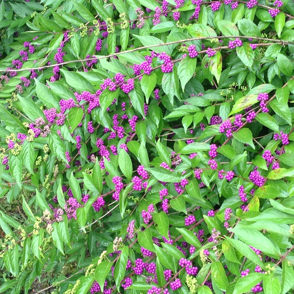 Berries add great fall color to the landscape. This is American beauty berry, a shrub that gets 5' x 5'.