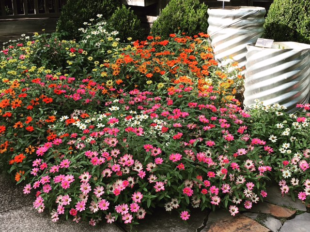 Zinnias putting on a great fall show at the NC Arboretum. These will last through a light frost.