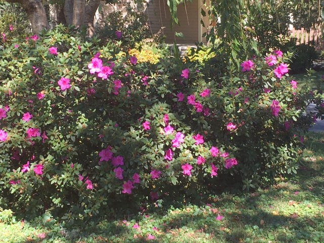 Encore azaleas don't bloom as heavily in autumn as they do spring but they do help add color to the landscape.