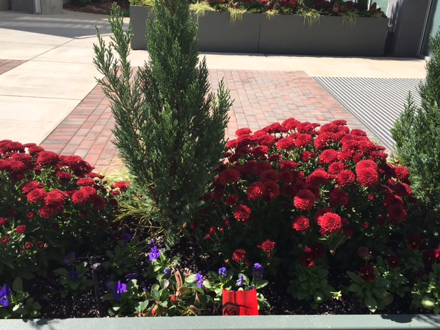 Up close picture of the containers. Red mums, blue point junipers, red and blue violas, wintergreeen, cones and kale.