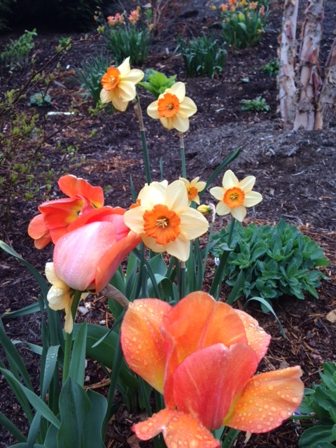 Tulips and daffodils. Great color combination. (Picture provided by Nancy Martemucci, in Nancy's garden.)