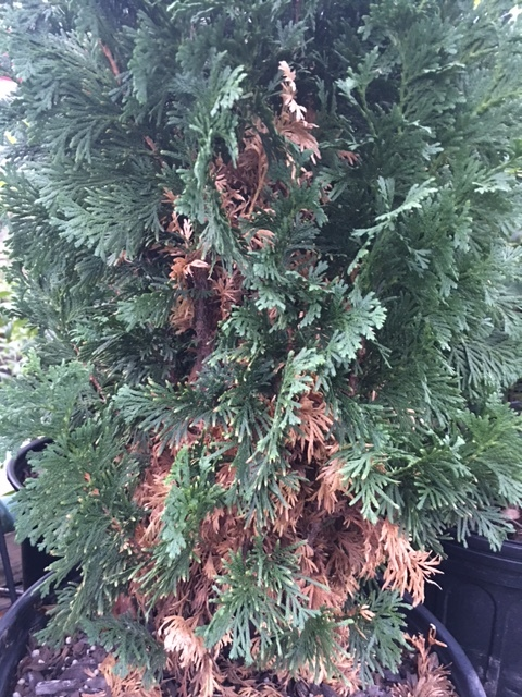'DeGroots Spire' arborvitae. Typically their shedding is close to the leader so you must pull back some of the branches to see the yellowing leaves. If the yellowing/browning drives you nuts, this may be the evergreen for you.