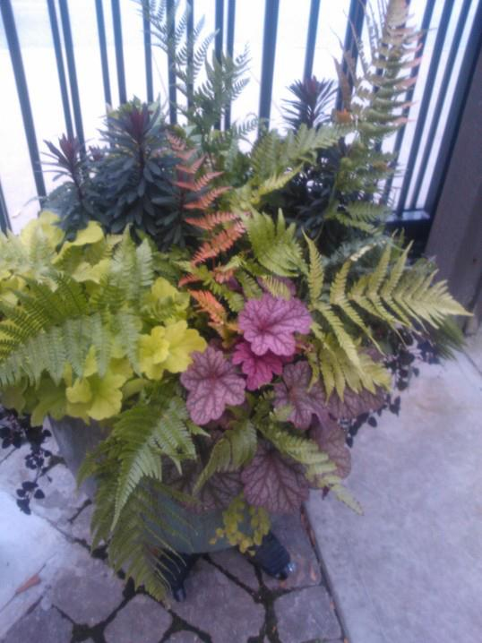Winter container with different heuchera, euphorbia and autumn fern. All evergreen.