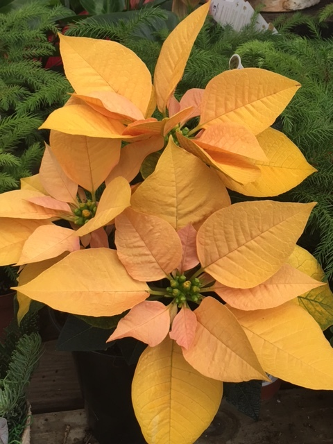 This lovely, almost-orange, nontraditional poinsettia sells out quickly.  There are over 100 cultivars of poinsettias, though red is still the most popular color.