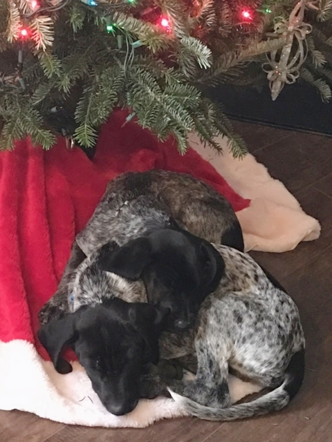 Pepper and Duke enjoying a Christmas nap. (German Shorthair Pointers, owner and picture taker, Anna Ridgeway.)