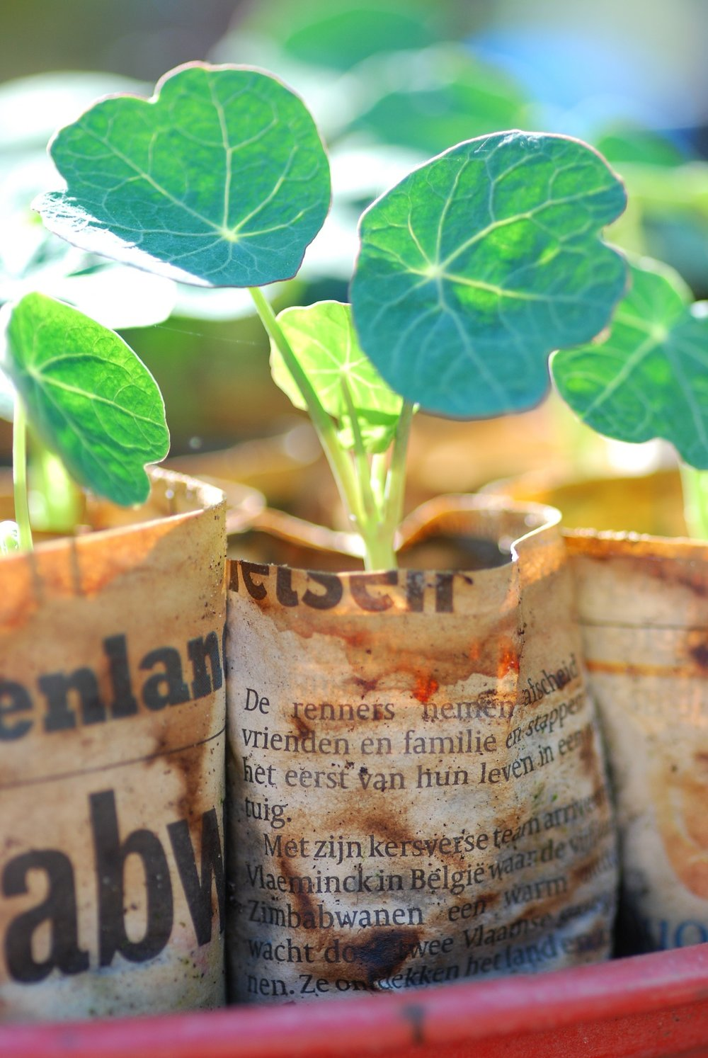 Nasturtiums started in newspaper, which will degrade once planted.