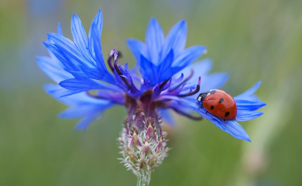 Ladybugs are pollinators as well, and eating machines. They eat up to 50-60 aphids a day, and scales, leafhoppers, mites, to name a few pests.