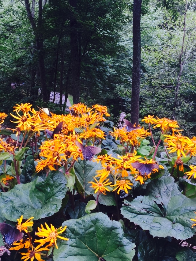 Ligularia. Proof that you can have flowers in the shade, and butterflies, too. They love this big, tropical looking plant with it's yellow blooms.