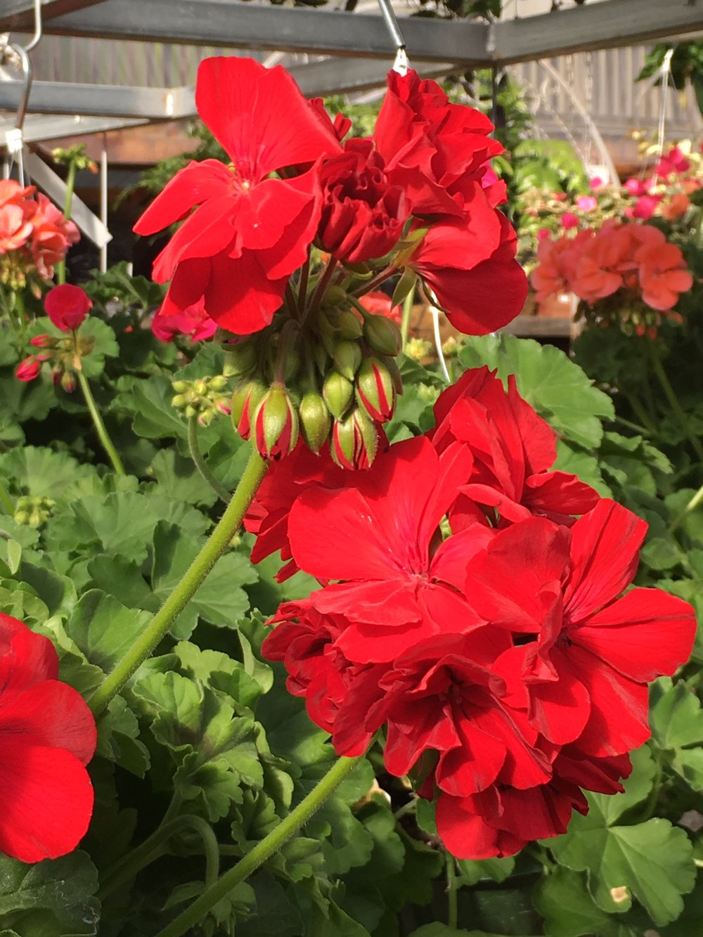One of the most beloved annuals., bold  red, geraniums, are hard to beat. Drought tolerant, showy, and strong bloomers, these annuals give a big pop of color all season.