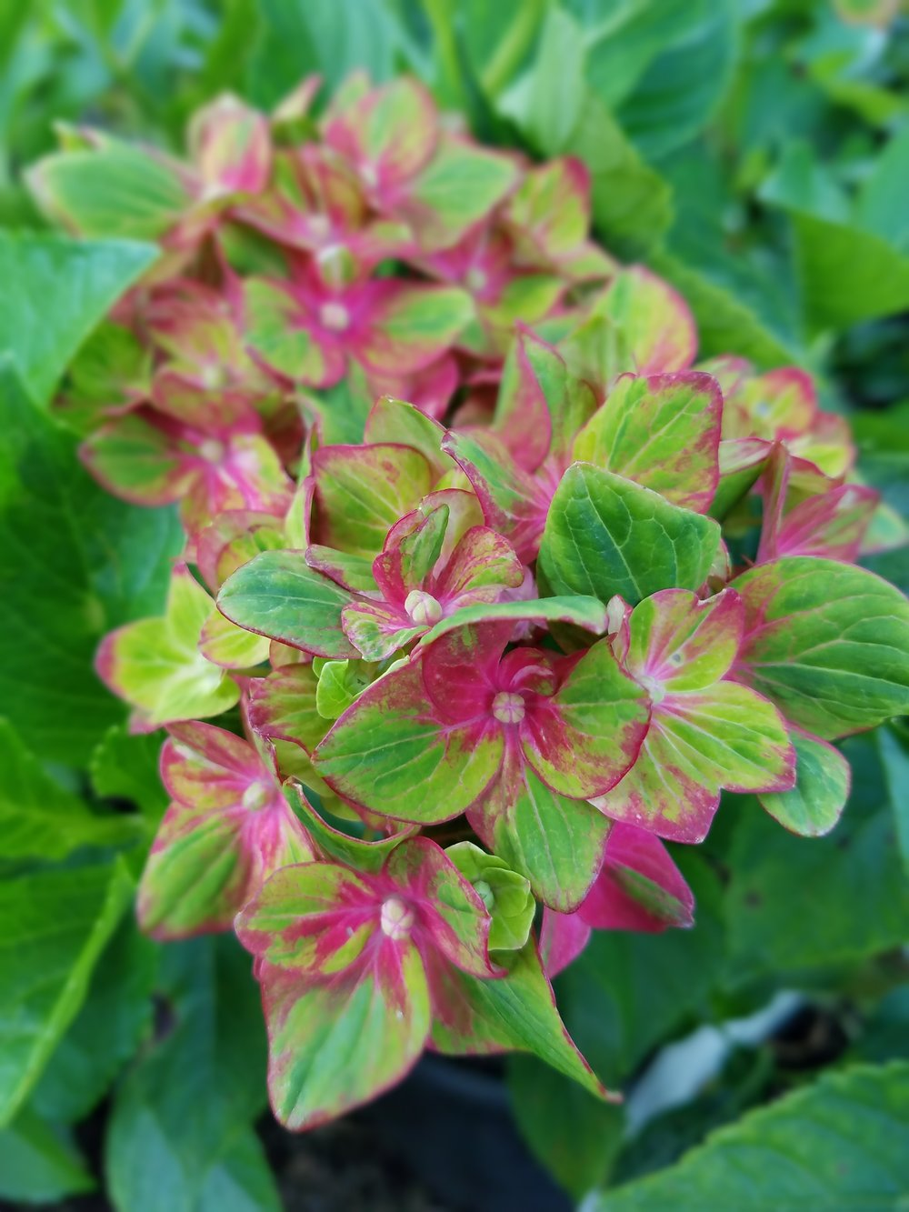 Hydrangea macrophylla 'Horwack'  or Pistachio hydrangea is taking the color of macrophyllas to new hues. Green turning dark pink and deep red, this shrub stays smaller and is a mophead (3' x 4-5').