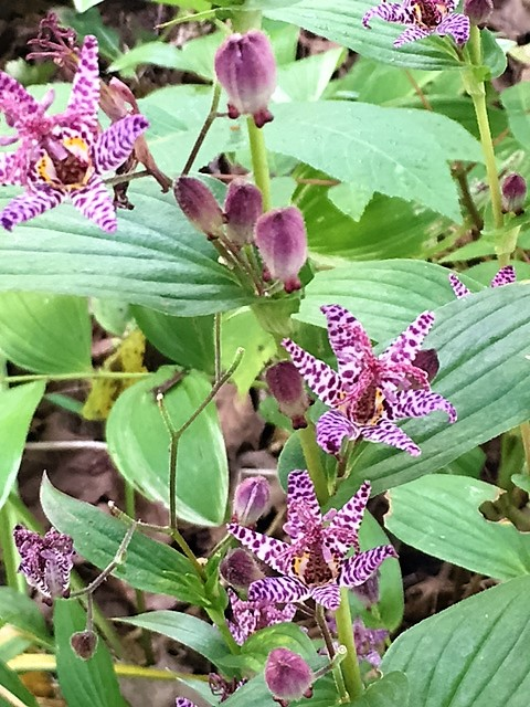 Toad lilies are the orchids of the shade garden. They love morning sun, but not much.
