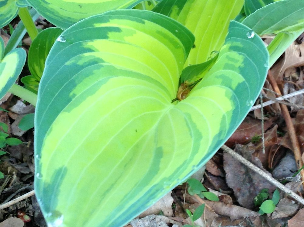 Hostas get a bad name sometimes, but maybe you haven't looked at them in awhile. This is the leaf of a 'June' hosta. This adds color, and texture to any shade garden.