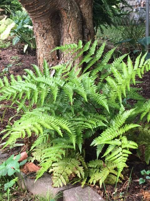 Autumn Fern gets 2' x 2' after getting established and has a beautiful bronze color on the new growth.