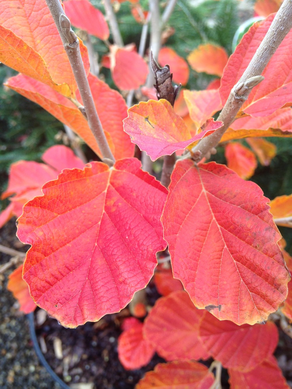 Witchhazel fall color