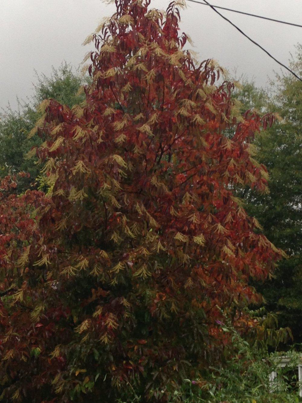 Oxeydendrum arboreum; Sourwood tree