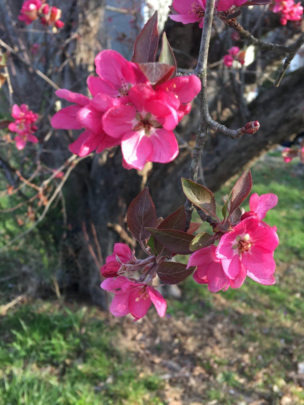 Malus pumila; apple tree