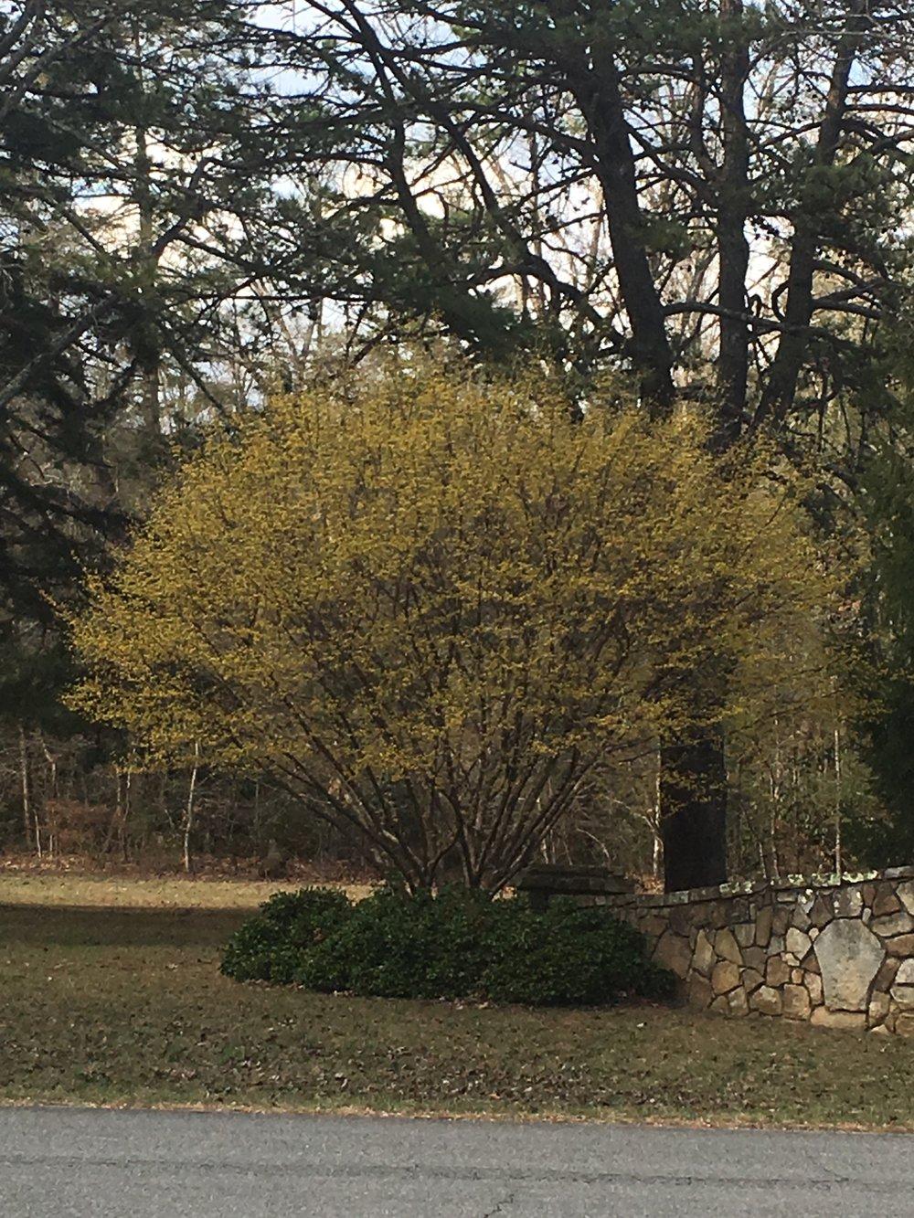 Cornus mas; Cornelian cherry dogwood