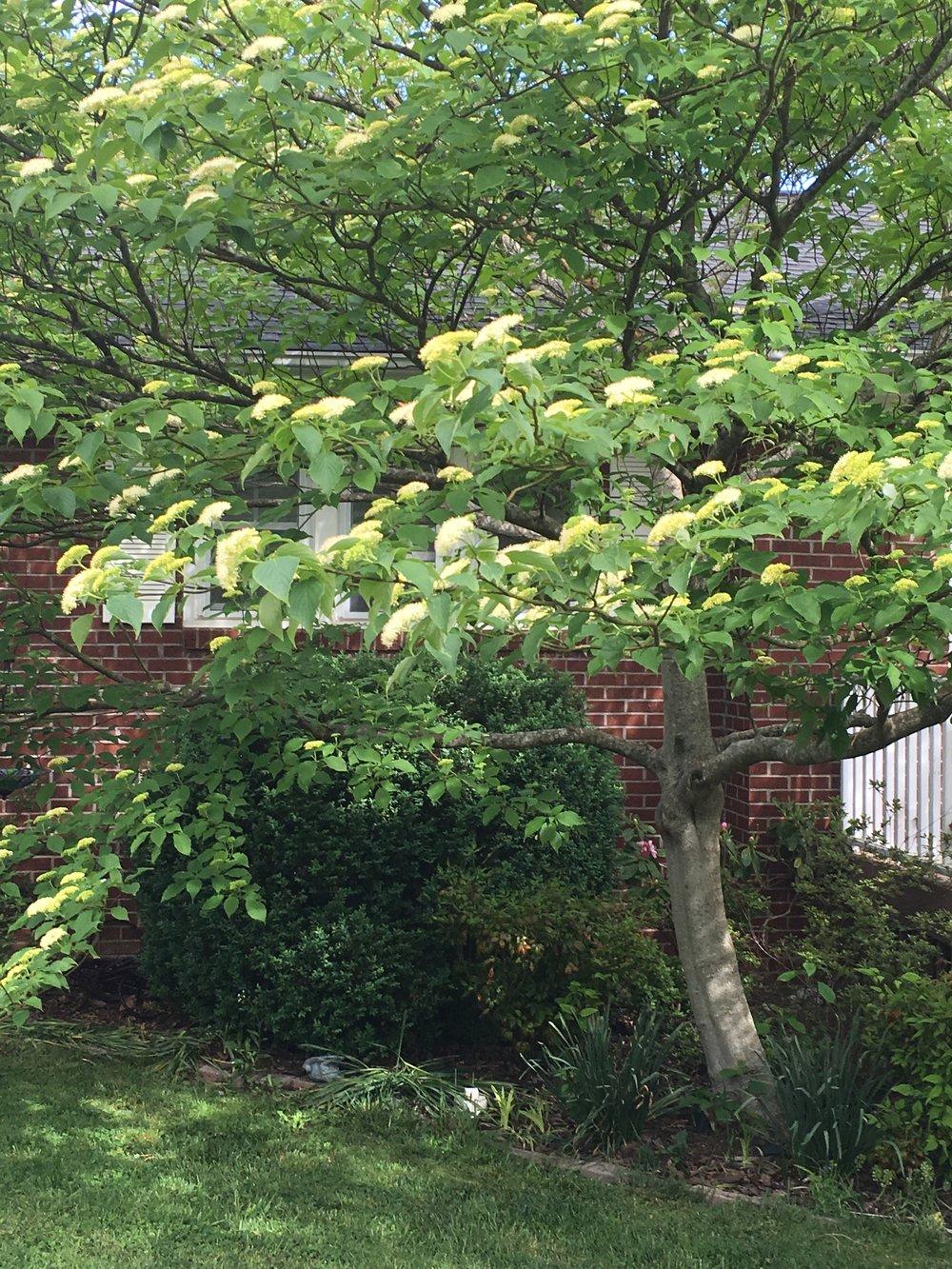 Cornus drummondii; Rough leaf dogwood