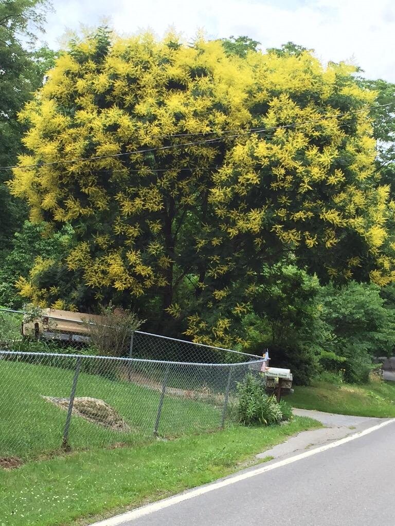 Koelreuteria paniculata; Goldenrain tree