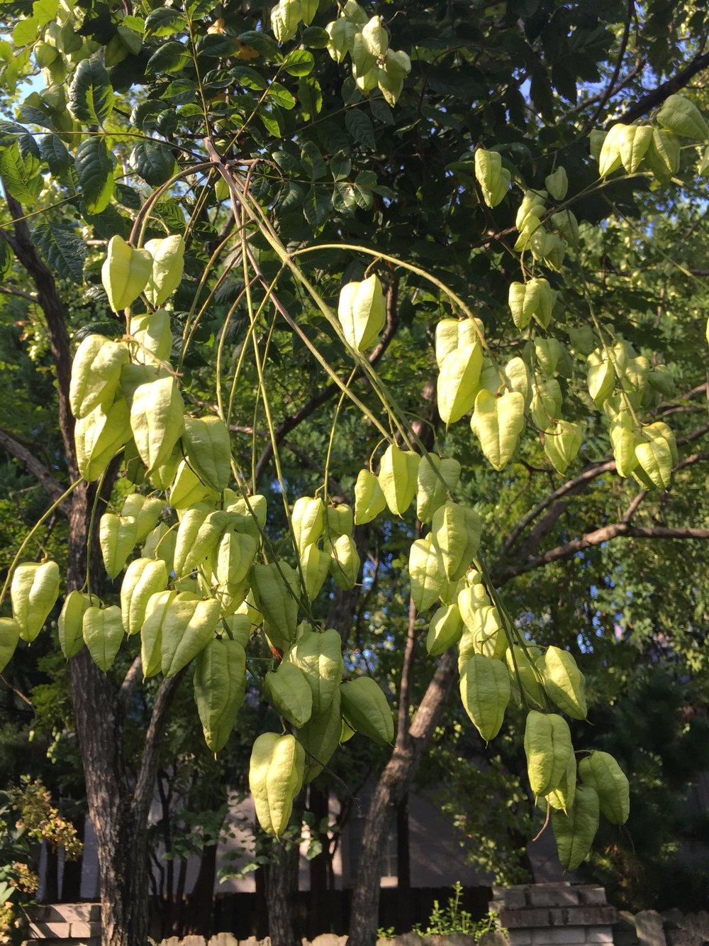 Goldenrain tree seedpods make great additions to cut flower arrangements.