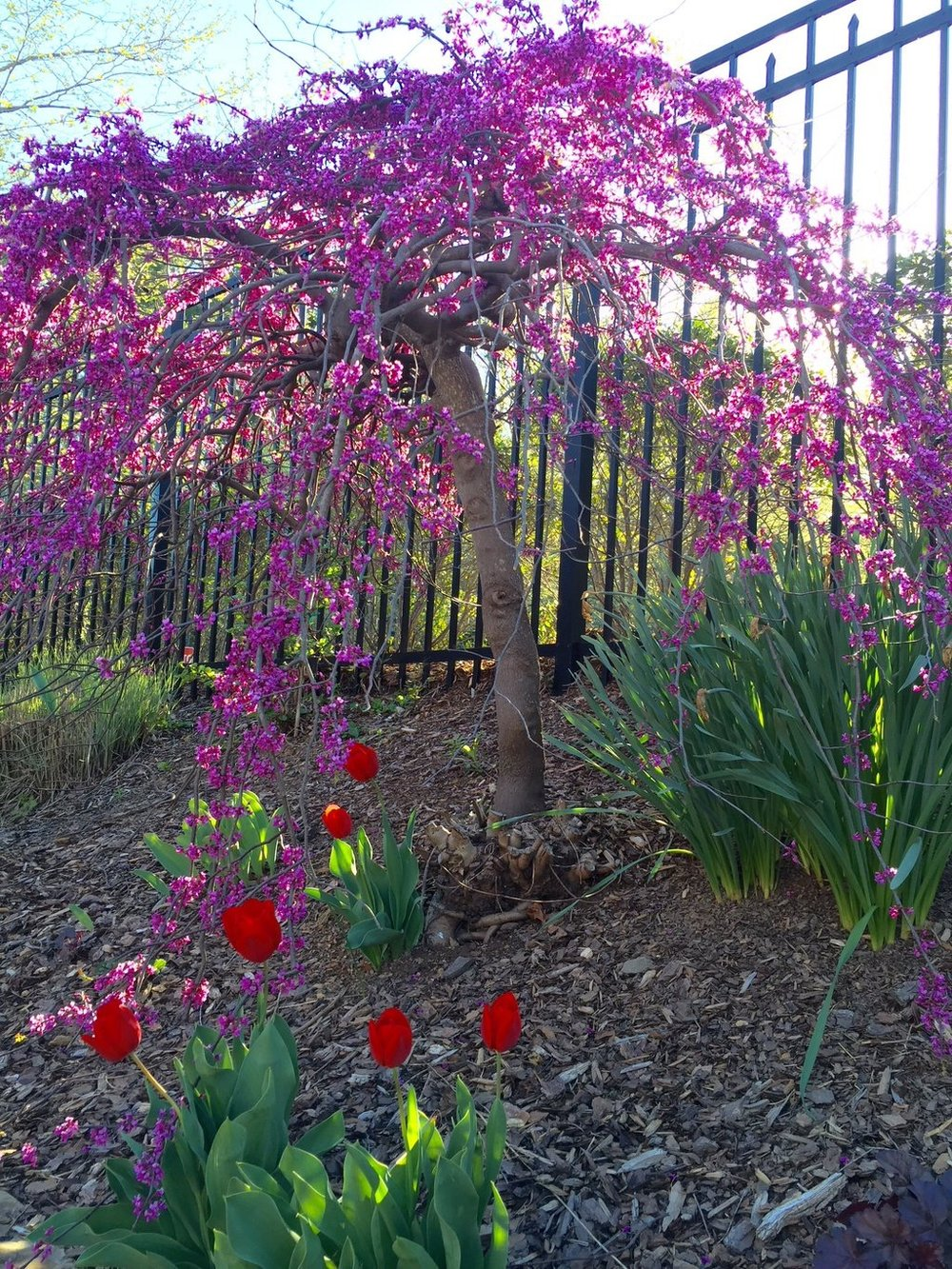 Cercis canadensis 'Ruby Falls': Ruby Falls weeping redbud