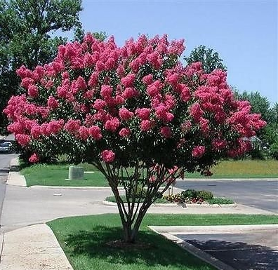 Lagerstromia; Crepe Myrtle or Crape Myrtle