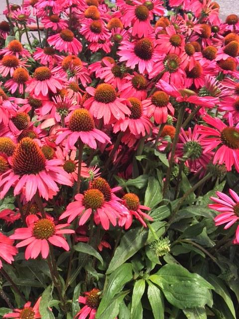 Kismet Echinacea 'Raspberry'